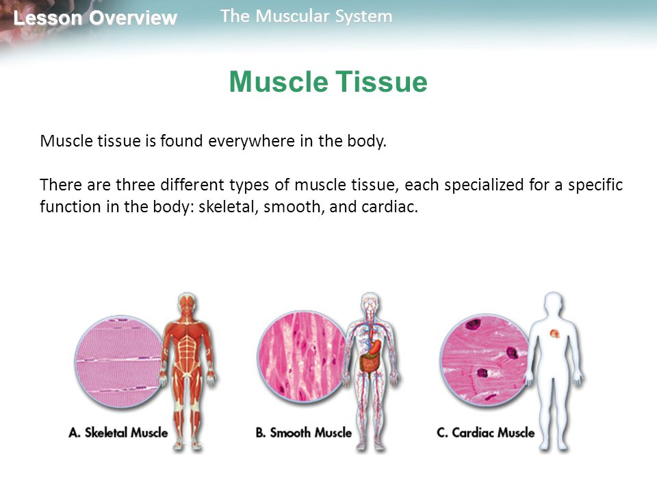 Muscle Tissue Muscle tissue is found everywhere in the body.