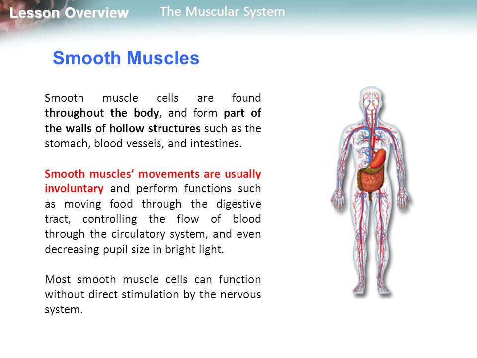 Smooth Muscles