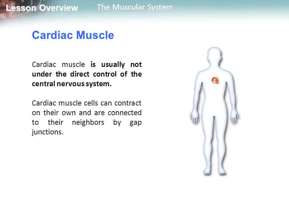 Cardiac Muscle Cardiac muscle is usually not under the direct control of the central nervous system.