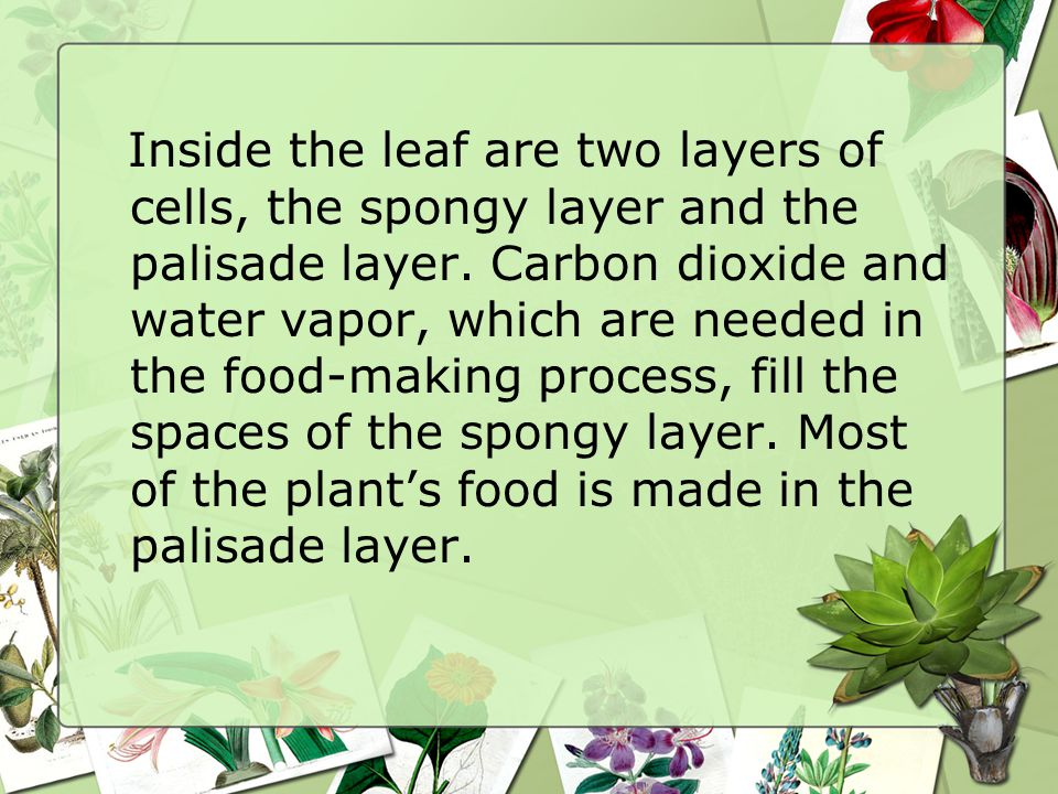 Inside the leaf are two layers of cells, the spongy layer and the palisade layer.