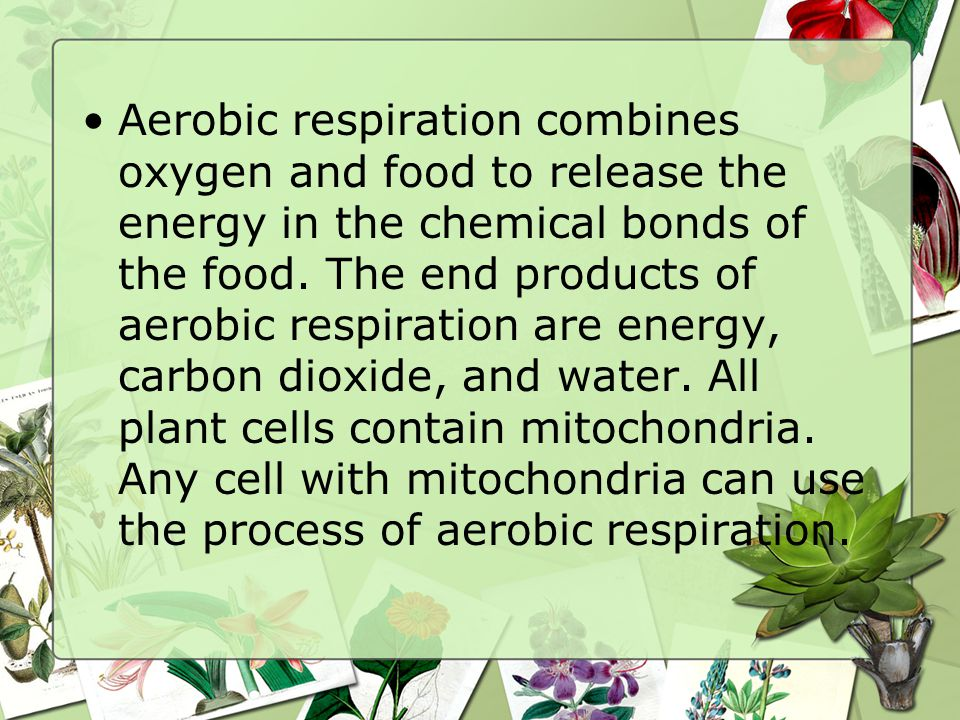 Aerobic respiration combines oxygen and food to release the energy in the chemical bonds of the food.