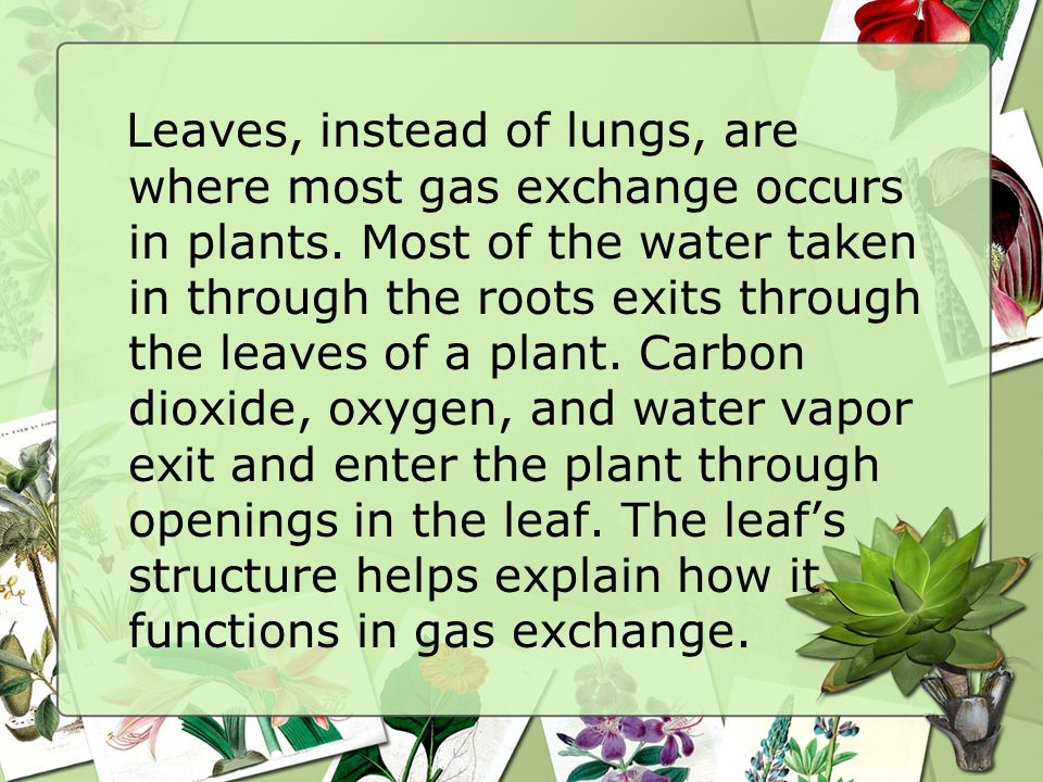 Leaves, instead of lungs, are where most gas exchange occurs in plants