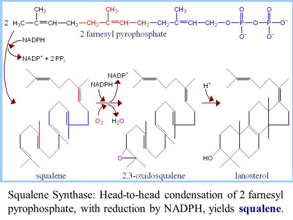 Squalene Synthase: Head-to-head condensation of 2 farnesyl pyrophosphate, with reduction by NADPH, yields squalene.