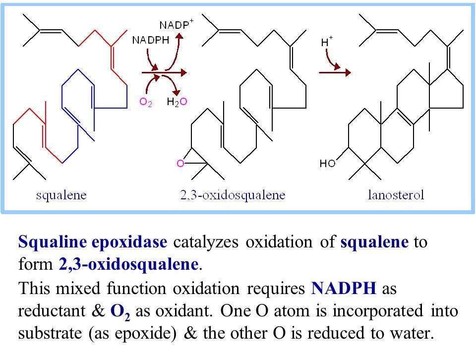 Squaline epoxidase catalyzes oxidation of squalene to form 2,3-oxidosqualene.