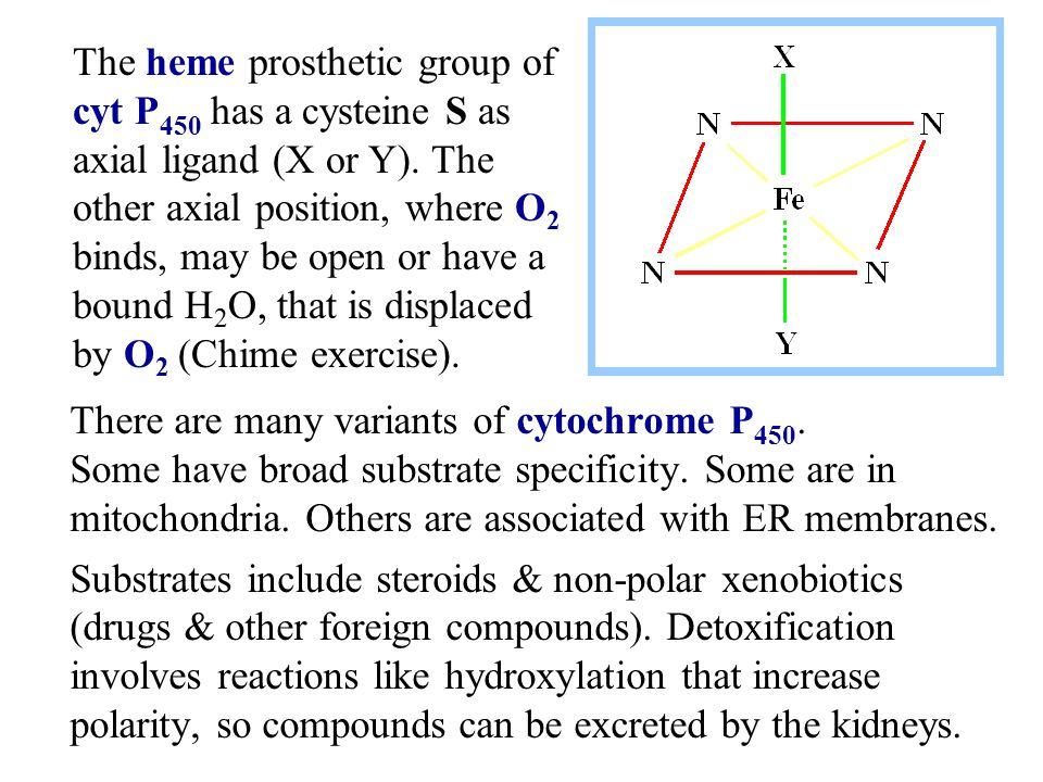 The heme prosthetic group of cyt P450 has a cysteine S as axial ligand (X or Y). The other axial position, where O2 binds, may be open or have a bound H2O, that is displaced by O2 (Chime exercise).