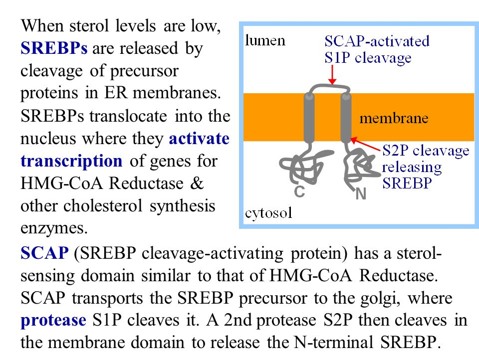 When sterol levels are low, SREBPs are released by cleavage of precursor proteins in ER membranes.