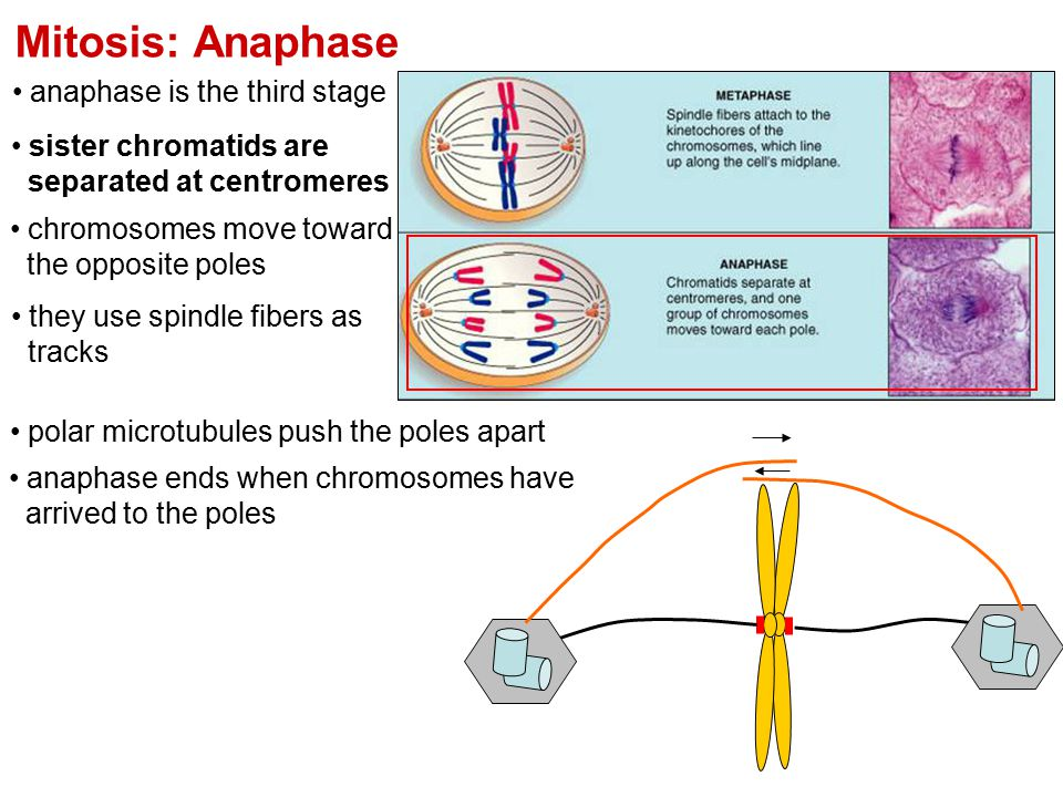 Mitosis: Anaphase anaphase is the third stage