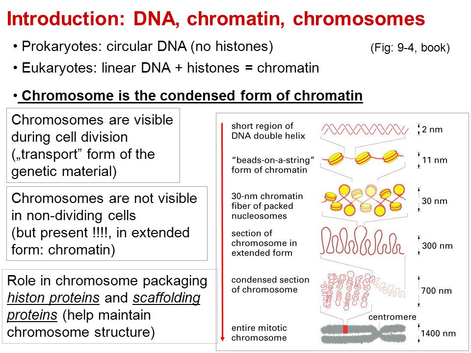 Introduction: DNA, chromatin, chromosomes