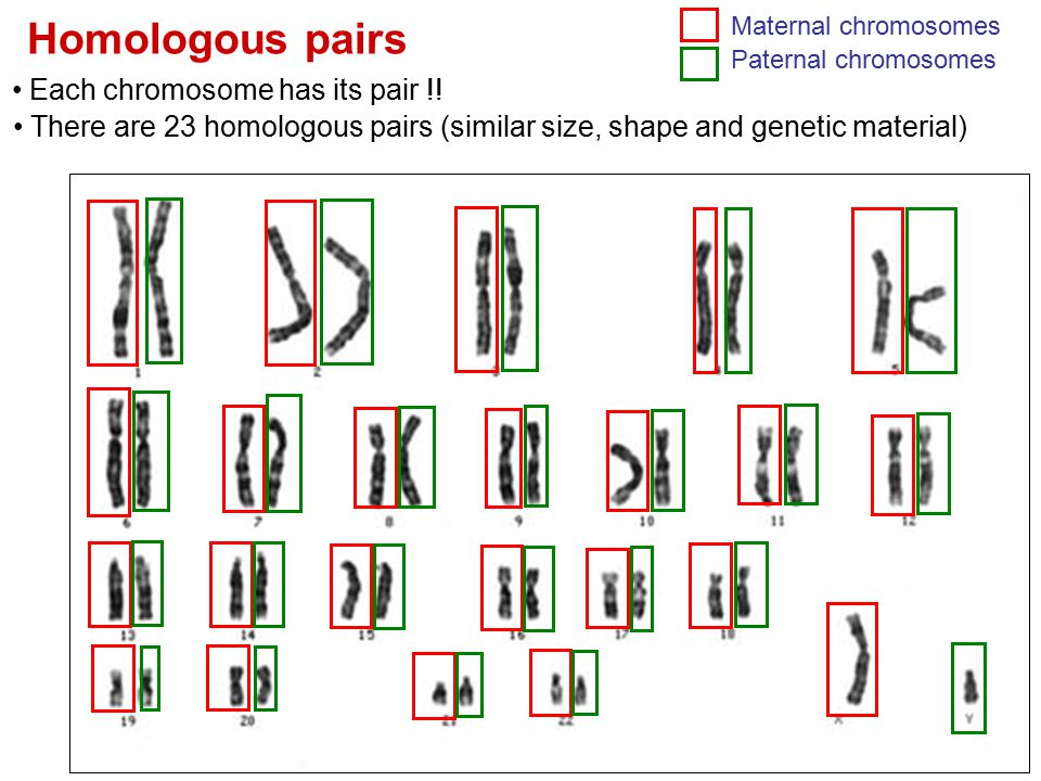 Homologous pairs Each chromosome has its pair !!