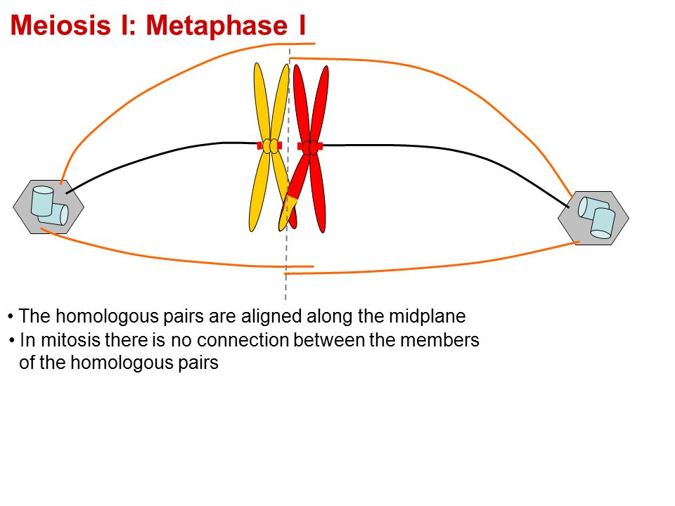 Meiosis I: Metaphase I The homologous pairs are aligned along the midplane.