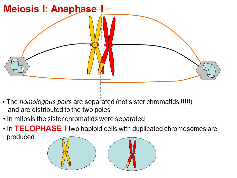 Meiosis I: Anaphase I The homologous pairs are separated (not sister chromatids !!!!!) and are distributed to the two poles.