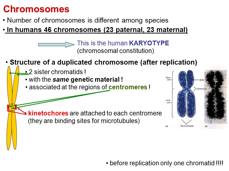 Chromosomes Number of chromosomes is different among species