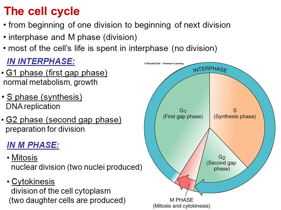 The cell cycle from beginning of one division to beginning of next division. interphase and M phase (division)