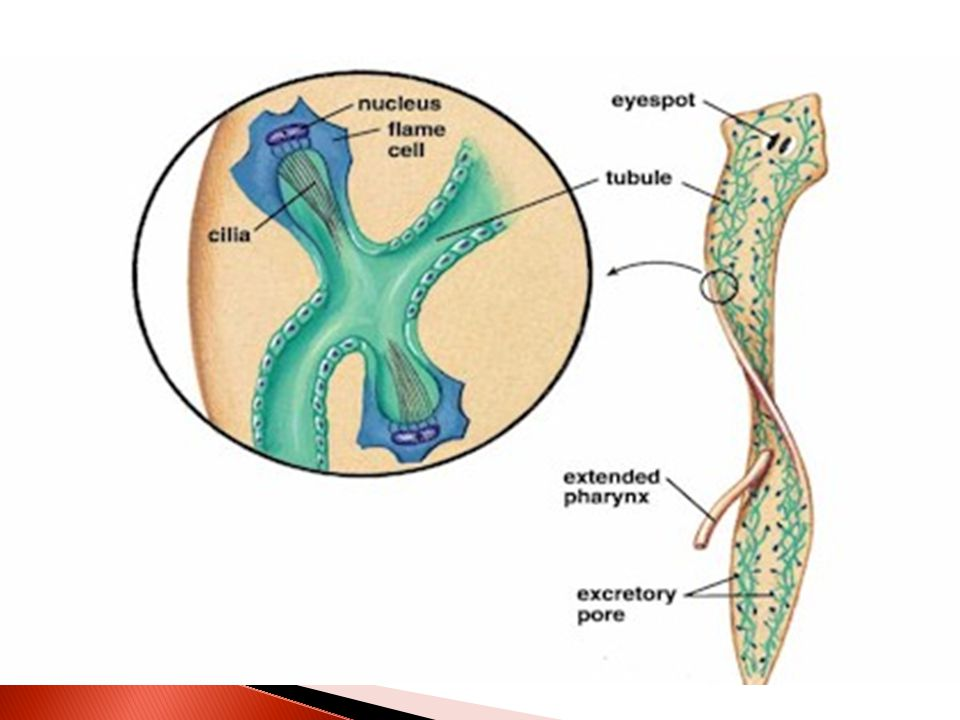 Planarians two strands of branching excretory tubules, open to the outside through the excretory pores.