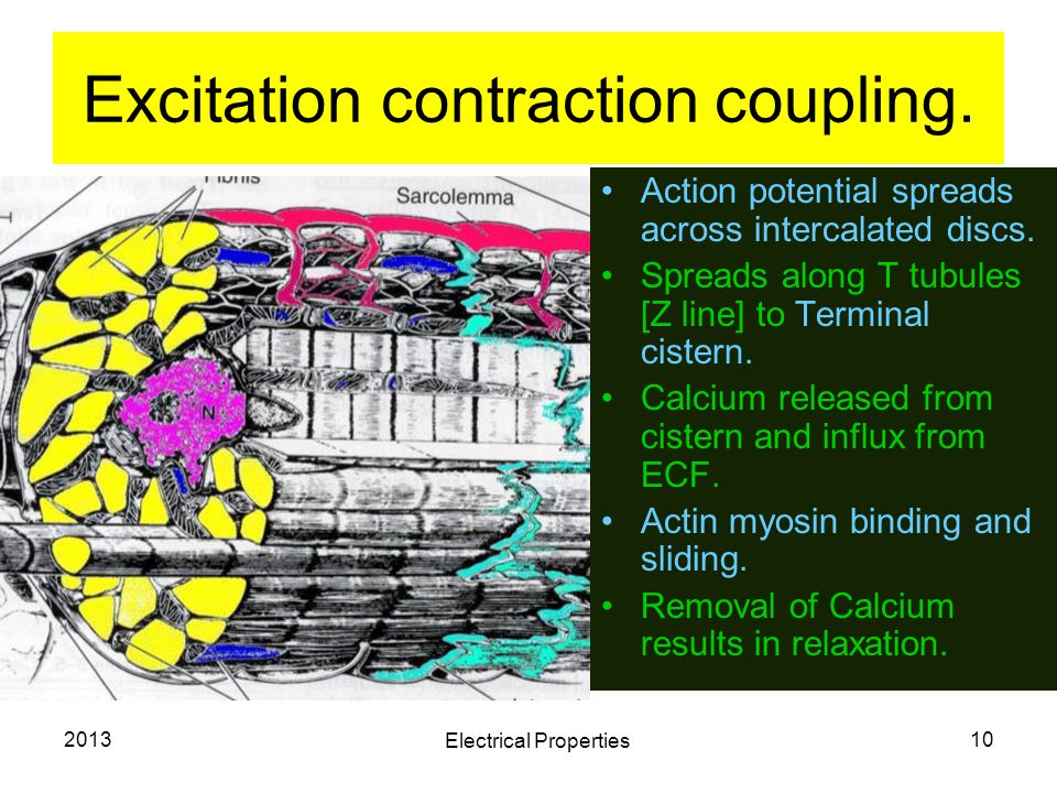 Excitation contraction coupling.