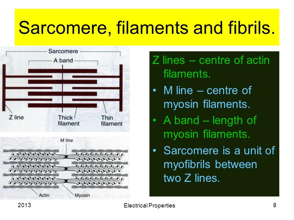 Sarcomere, filaments and fibrils.