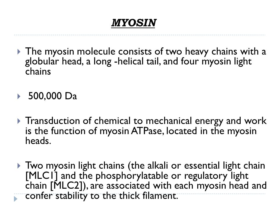 MYOSIN The myosin molecule consists of two heavy chains with a globular head, a long -helical tail, and four myosin light chains.