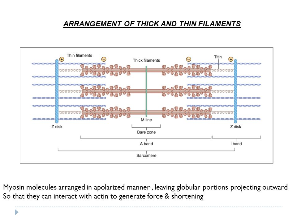 ARRANGEMENT OF THICK AND THIN FILAMENTS