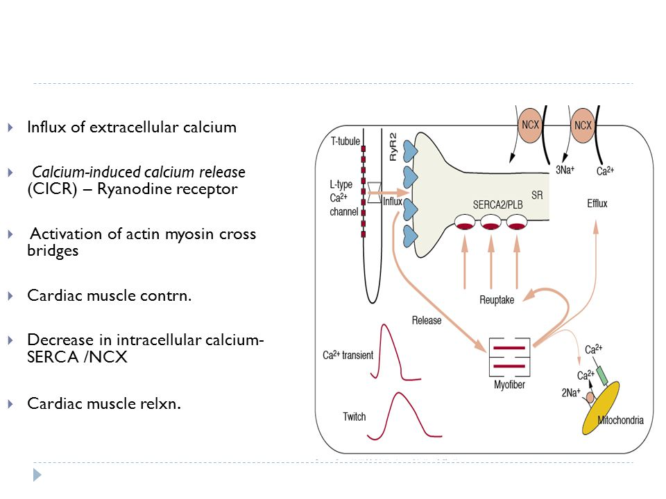 Influx of extracellular calcium