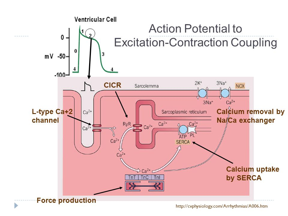 Action Potential to Excitation-Contraction Coupling