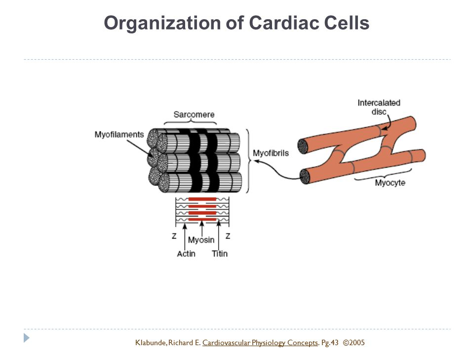 Organization of Cardiac Cells