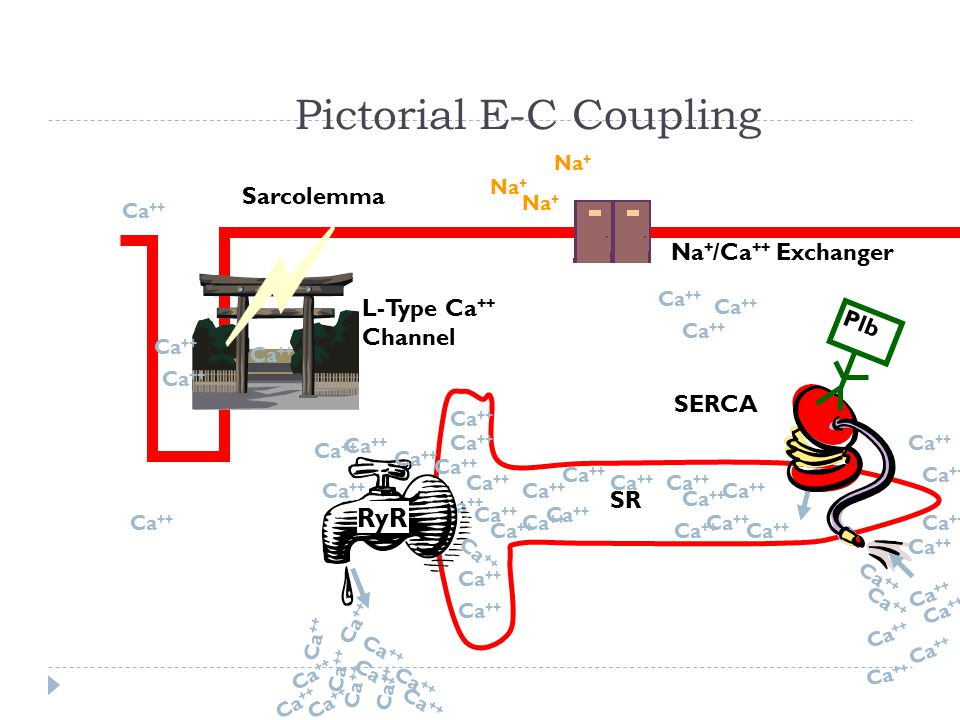 Pictorial E-C Coupling
