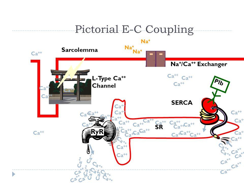 Pictorial E-C Coupling