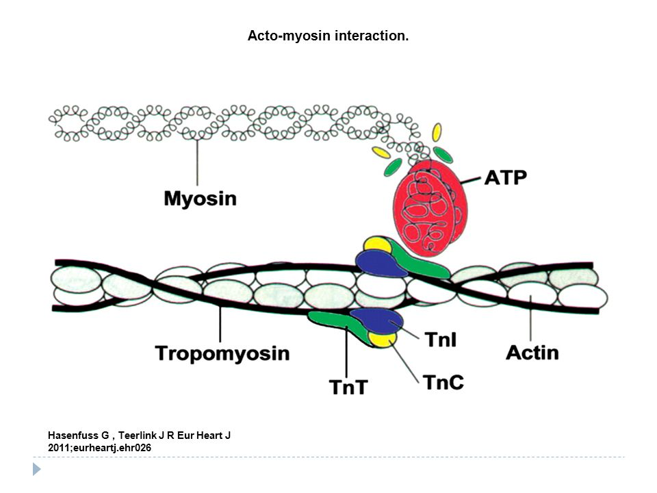 Acto-myosin interaction.