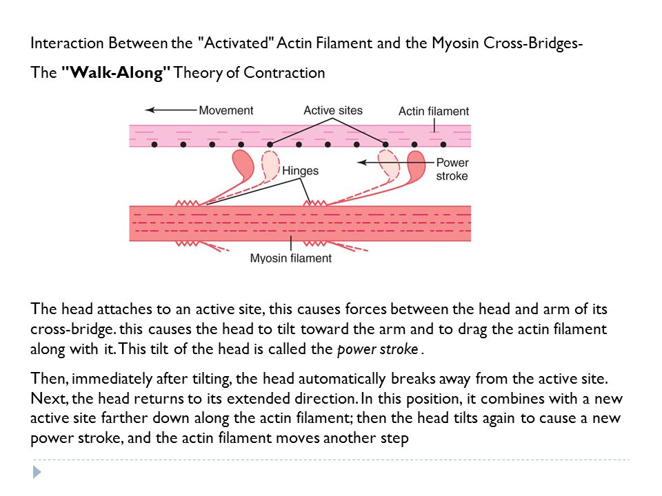 Interaction Between the Activated Actin Filament and the Myosin Cross-Bridges-