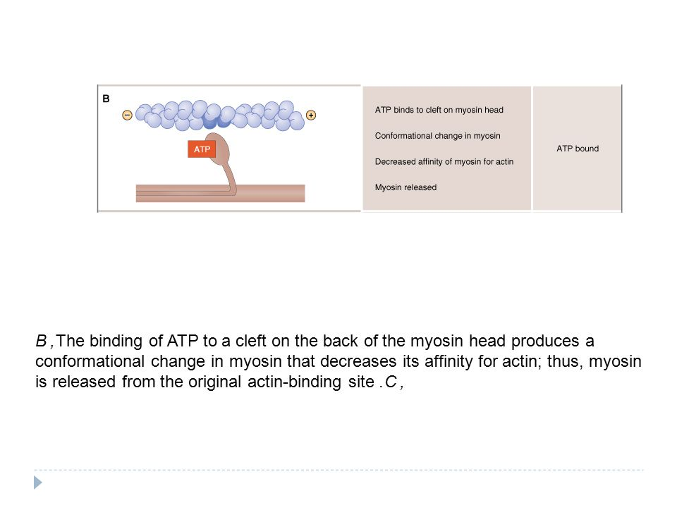 B, The binding of ATP to a cleft on the back of the myosin head produces a conformational change in myosin that decreases its affinity for actin; thus, myosin is released from the original actin-binding site.