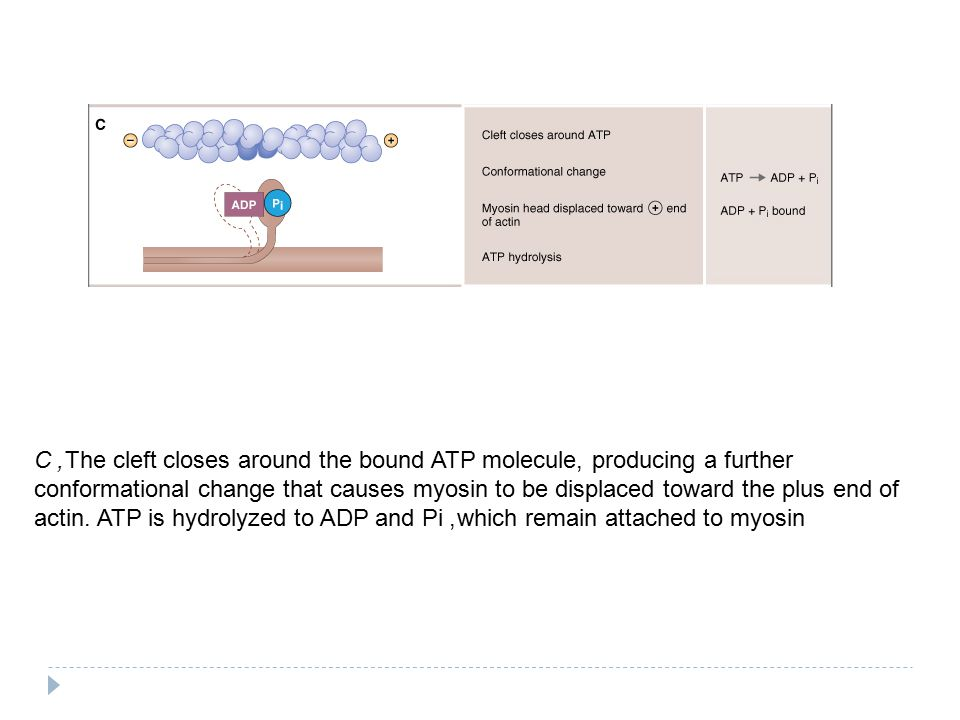 C, The cleft closes around the bound ATP molecule, producing a further conformational change that causes myosin to be displaced toward the plus end of actin.