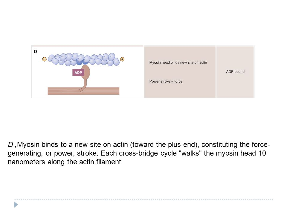 D, Myosin binds to a new site on actin (toward the plus end), constituting the force-generating, or power, stroke.