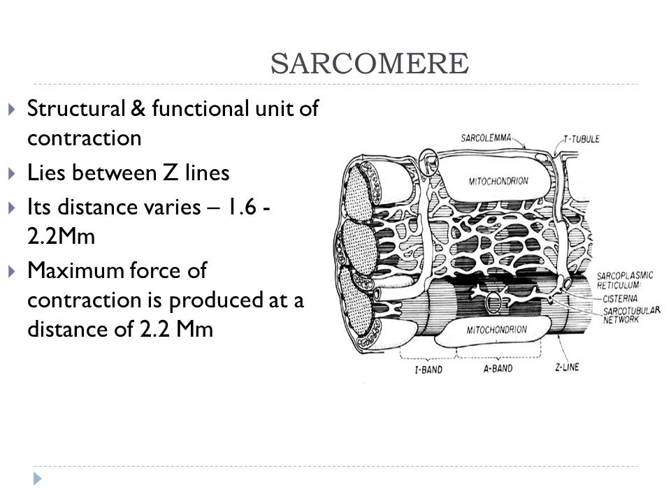 SARCOMERE Structural & functional unit of contraction