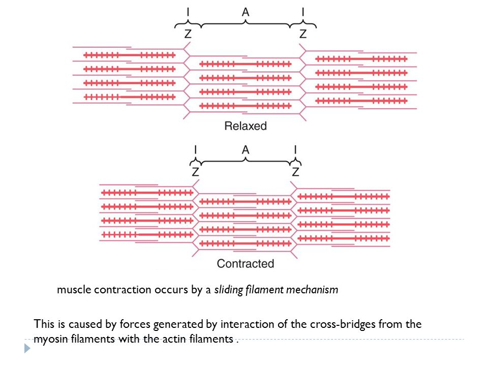 muscle contraction occurs by a sliding filament mechanism