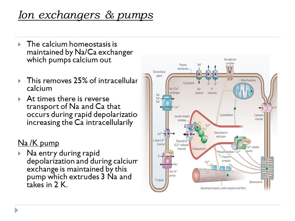 Ion exchangers & pumps The calcium homeostasis is maintained by Na/Ca exchanger which pumps calcium out.