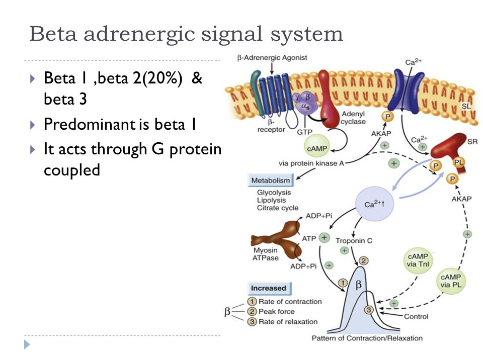 Beta adrenergic signal system
