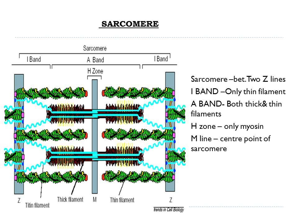SARCOMERE Sarcomere –bet. Two Z lines. I BAND –Only thin filament. A BAND- Both thick& thin filaments.
