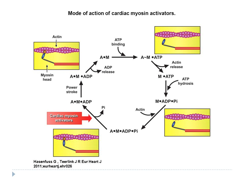 Mode of action of cardiac myosin activators.