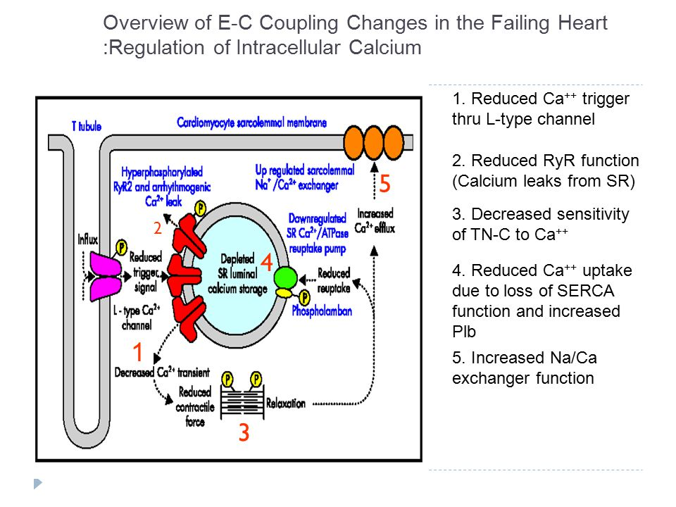 Overview of E-C Coupling Changes in the Failing Heart :Regulation of Intracellular Calcium