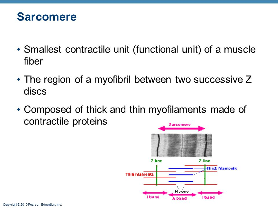 Sarcomere Smallest contractile unit (functional unit) of a muscle fiber. The region of a myofibril between two successive Z discs.