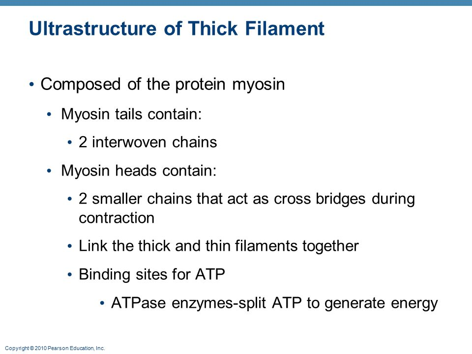 Ultrastructure of Thick Filament