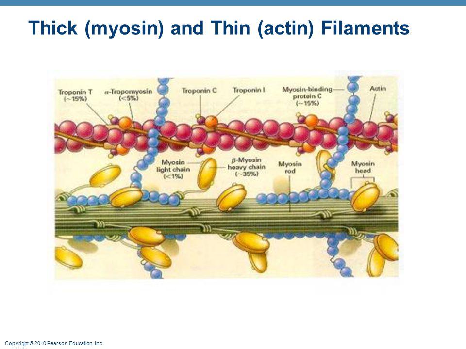 Thick (myosin) and Thin (actin) Filaments