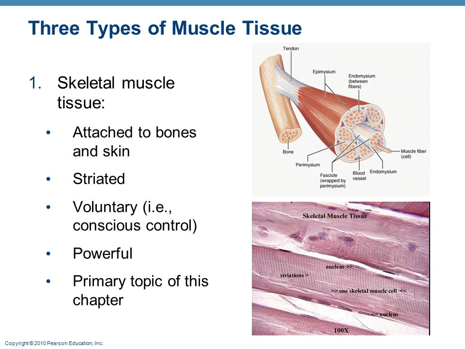 Types of tissue and muscle