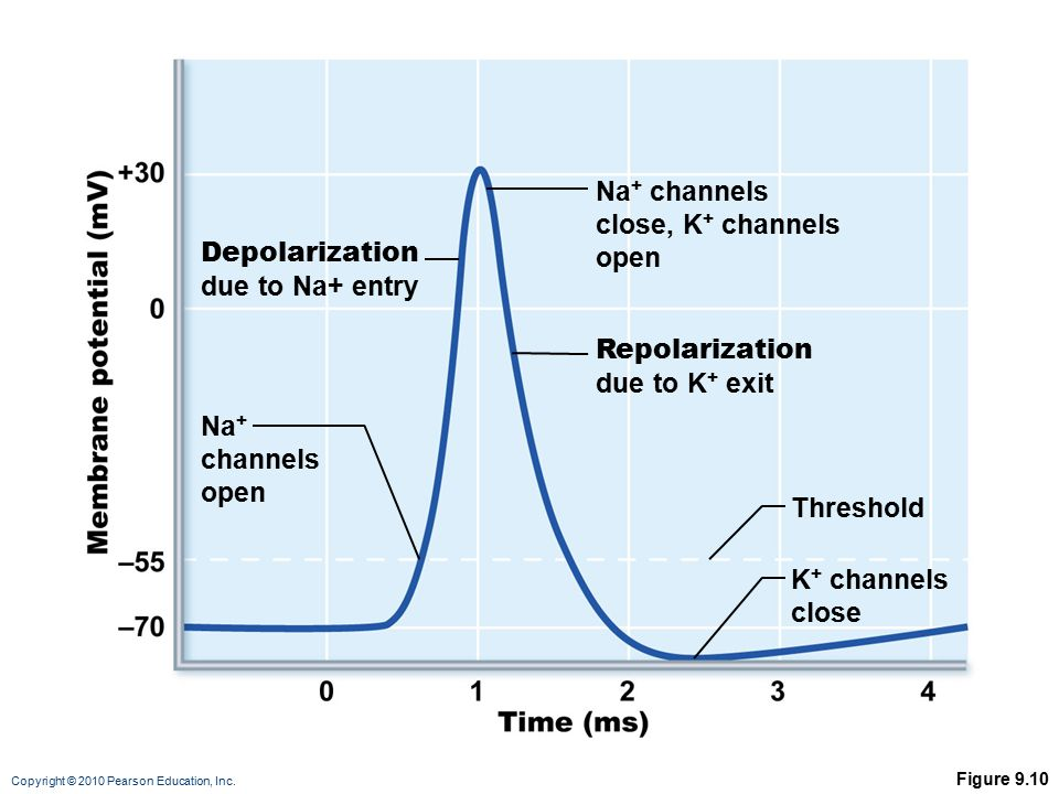 Na+ channels close, K+ channels open Depolarization due to Na+ entry