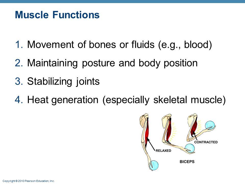 Muscle Functions Movement of bones or fluids (e.g., blood) Maintaining posture and body position. Stabilizing joints.