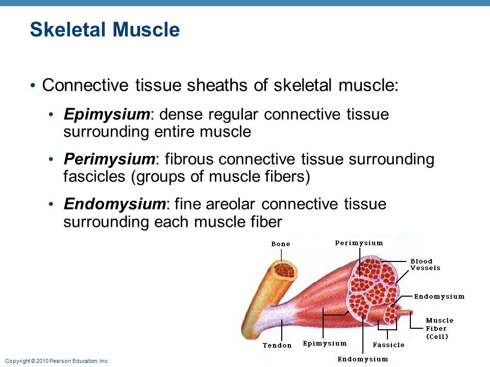 Skeletal Muscle Connective tissue sheaths of skeletal muscle: