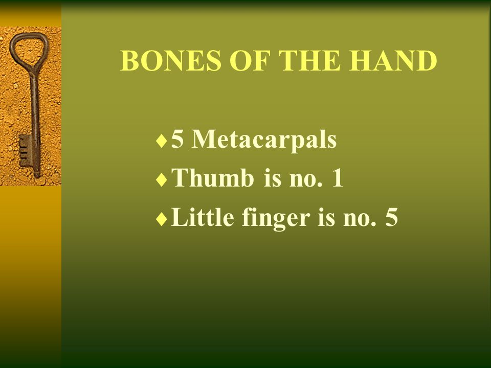 BONES OF THE HAND 5 Metacarpals Thumb is no. 1 Little finger is no. 5
