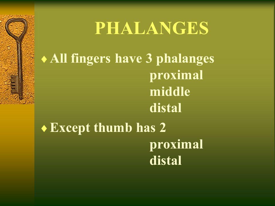 PHALANGES All fingers have 3 phalanges proximal middle distal