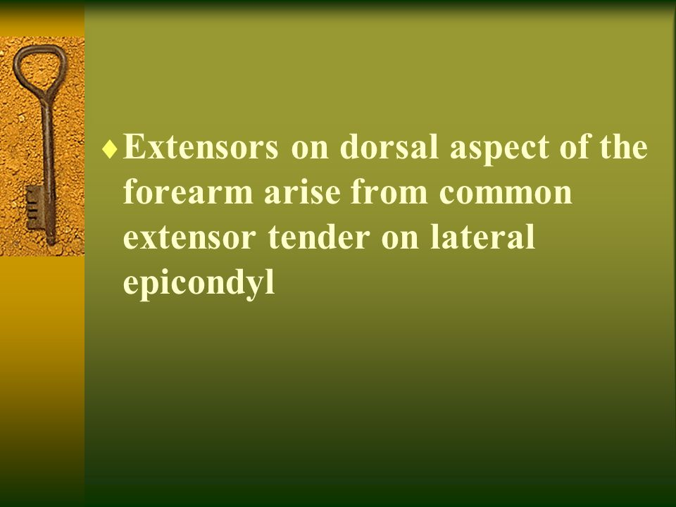 Extensors on dorsal aspect of the forearm arise from common extensor tender on lateral epicondyl
