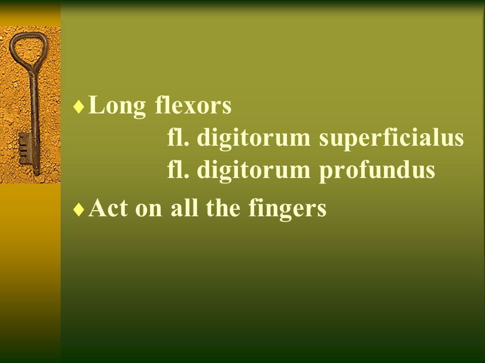 Long flexors fl. digitorum superficialus fl. digitorum profundus